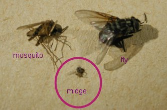 culicoides-mosquito-fly.jpg